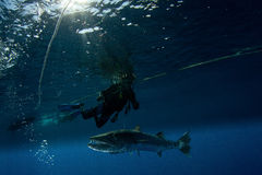 Barracuda and scuba diver Stock Image