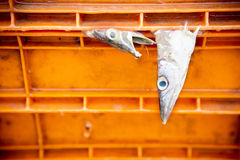Barracuda, Seapike in transportation box  Damage from shipping Royalty Free Stock Photo
