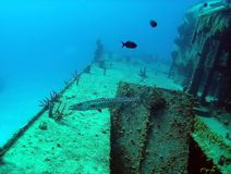 Barracuda on shipwreck Stock Image