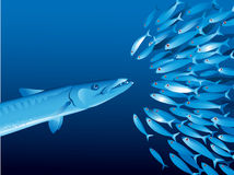 Barracuda and shoal Stock Photo