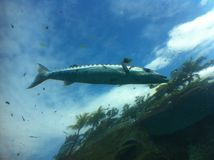 Barracuda in the sky Royalty Free Stock Photos