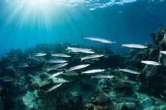 Barracuda and Sunlight Stock Photo