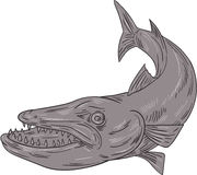 Barracuda Swimming Down Drawing Stock Photography