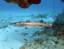 Barracuda under coral shelf, utila, honduras Stock Photography
