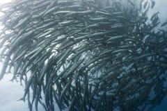 barracuda, underwate Zdjęcie Royalty Free