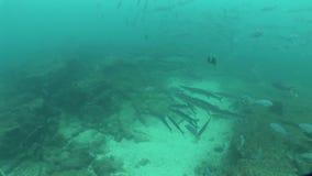 Barracuda Underwater life diving Galapagos islands Equador South America Video stock footage