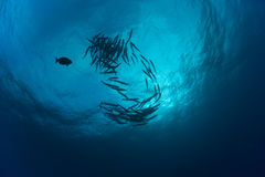 Barracuda underwater picture Sudan Red sea diving safari Royalty Free Stock Images