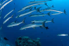 Barracuda underwater picture Sudan Red sea diving safari Stock Images