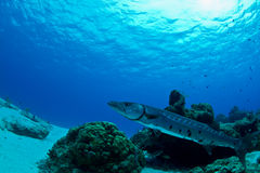 Barracuda in waiting stock images