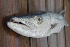 barracuda zbliżenie Zdjęcia Royalty Free