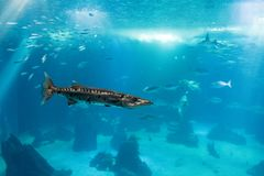 Barracudaerwachsener im Ozeanlebensraum, einzelner Fisch Stockfoto