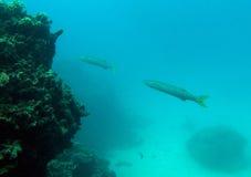 Barracudafische stockfotografie