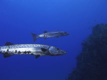 Barracudas Royalty Free Stock Photos