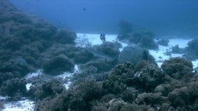 Barracudas de Blackfin em um recife de corais em Filipinas 4k vídeos de arquivo