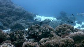 Barracudas de Blackfin em um recife de corais em Filipinas 4k filme