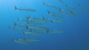 barracudas de 4k Blackfin sur un récif coralien Photo stock