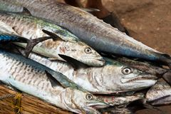 Barracudas on a fish market Royalty Free Stock Photography