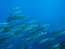 Barracudas. V9EG1308 Royalty Free Stock Photo