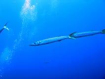 Barracudas y burbujas Imagen de archivo libre de regalías