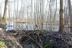 Barrage de castor Image stock