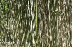 Barrage of green or brown. Reeds royalty free stock photos
