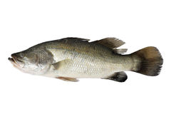 Barramundi Royalty Free Stock Photos