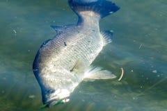 Barramundi or Asian sea bass Royalty Free Stock Photos