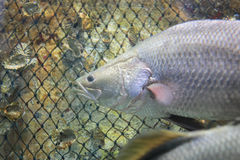 Barramundi fish Stock Image
