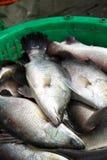Barramundi fish Stock Photos