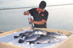 Barramundi fish are farmed in the Van Phong Bay and exported to the world market Stock Images