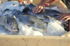 Barramundi fish are farmed in the Van Phong Bay and exported to the world market Royalty Free Stock Photos
