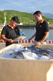 Barramundi fish are farmed in the Van Phong Bay and exported to the world market Royalty Free Stock Photo