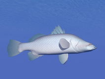 Barramundi fish underwater - 3D render Royalty Free Stock Photography