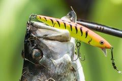 Barramundi hooked on a fishing lure Stock Images