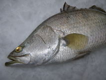 Barramundi on ice Royalty Free Stock Photos