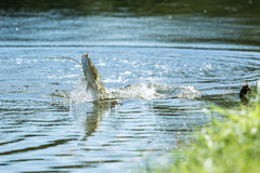 Barramundi jumps into the air Royalty Free Stock Images