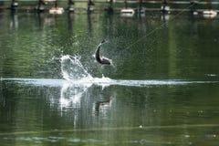 Barramundi jumps into the air Stock Photo