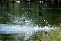 Barramundi jumps into the air Stock Image