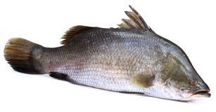 Barramundi or Koral fish of Southeast Asia Royalty Free Stock Images