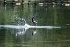 Barramundi springt in die Luft lizenzfreies stockfoto