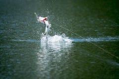 Barramundi springt in die Luft stockfoto