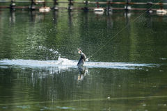 Barramundi springt in die Luft lizenzfreie stockbilder