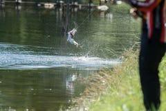 Barramundi springt in die Luft stockfotos