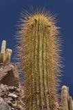 Barranco del cactus en el desierto de Atacama en Chile Imagen de archivo