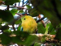 Barranquero, esta única opinião do pássaro no quindio do salento fotos de stock royalty free