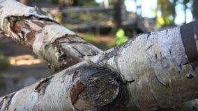 Barras derribadas y rasgadas viejas del abedul almacen de video