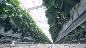 Barras transversales con las plantas del pepino atadas hasta ellas Concepto moderno de la agricultura almacen de metraje de vídeo