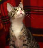 Barrato con il gatto bianco dello shorthair Fotografia Stock
