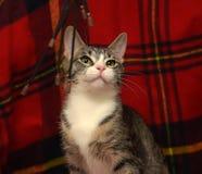 Barrato con il gatto bianco dello shorthair Immagini Stock Libere da Diritti