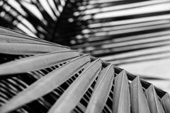 Barrato di in bianco e nero di foglia di palma fotografia stock